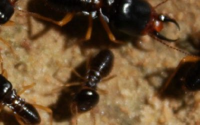 Termites Pest Control Services Innovative Pest Solutions